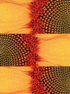 mandragora pollen2
